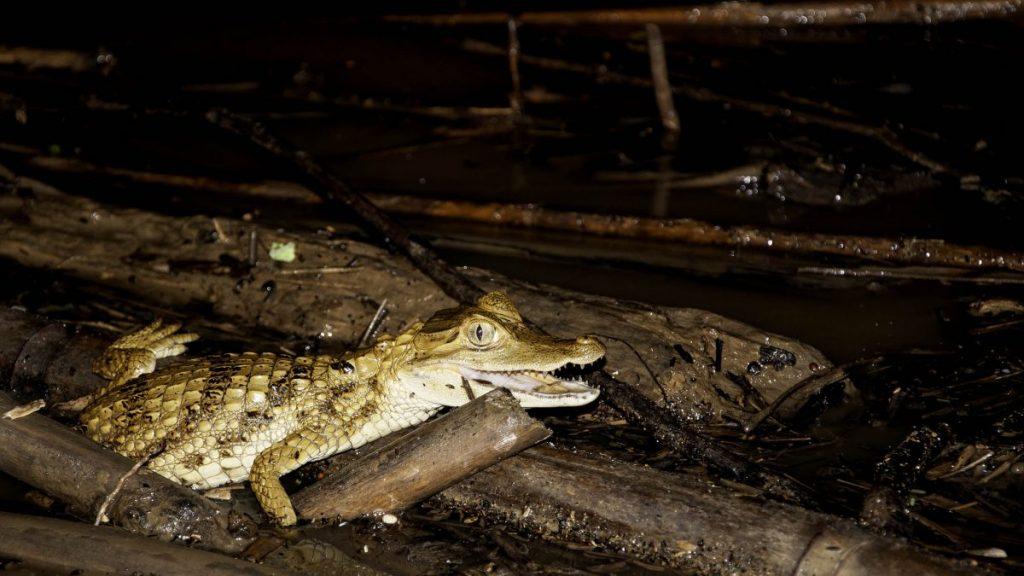 caiman amazonie